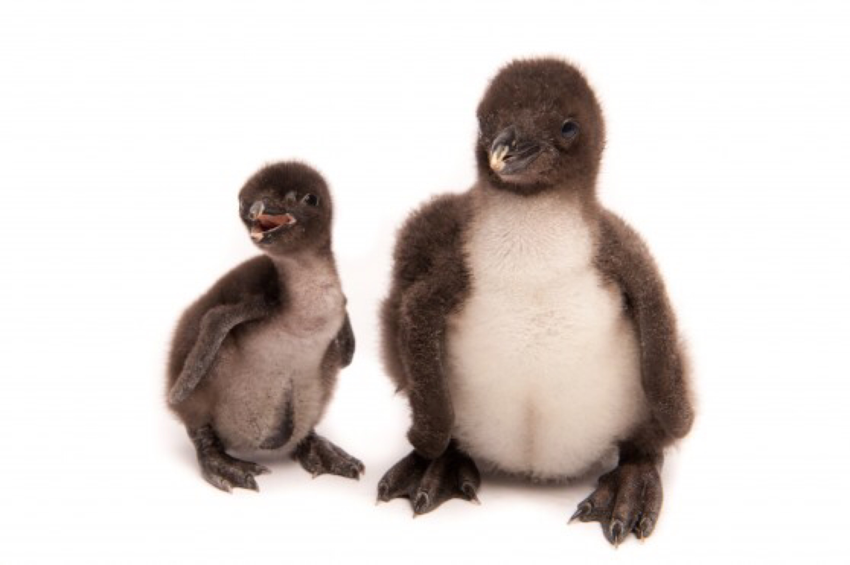 I am a play therapist and purchased these items for my animal collection The penguins are a great size and the family style with the different types of penguins is